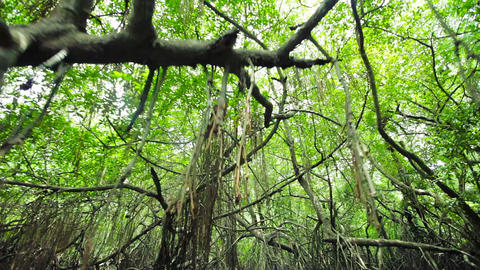 Dense mangroves and hanging roots. Sri Lanka. Bent Footage