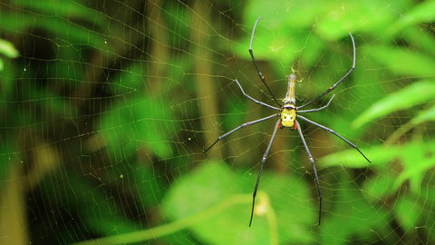 large female Nephila spider in his web Footage