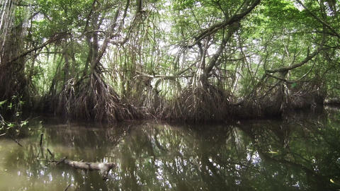 Movement through the mangroves Footage