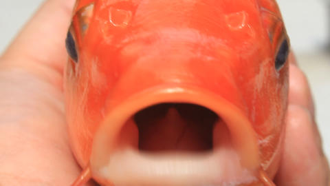 mouth of yellow carp Live Action