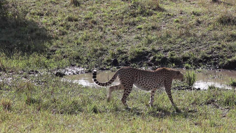 Cheetah goes in the tall grass. Savannah Footage