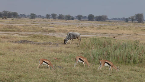 Wildebeest and Thomson's gazelles eating grass Footage