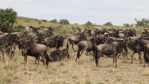 Large herd of wildebeest grazing in the field Footage