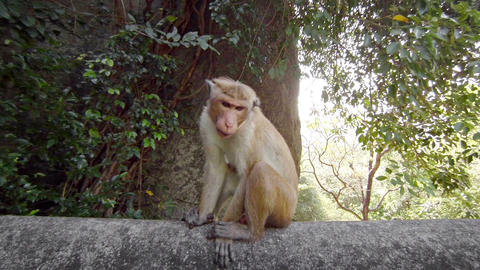 Funny monkey sitting on a fence. Sri Lanka Footage