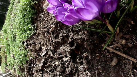 The purple crocus plant Footage