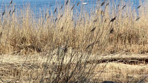 Lots of reeds near the sea Footage