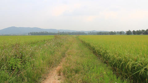 paddy fields Footage