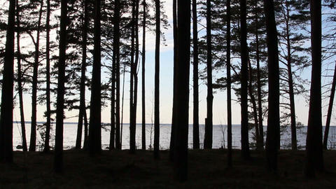 The view of the pine trees during late afternoon Footage