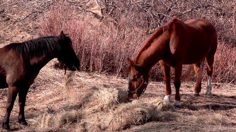 Two horses standing while eating Footage