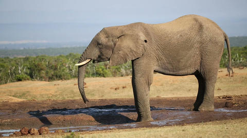 African Elephant At Waterhole stock footage