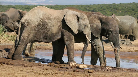 African elephants at waterhole Footage