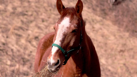 A brown horse chewing Footage