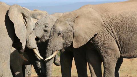 African elephants interacting Footage