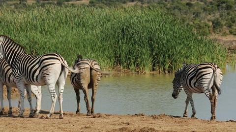 Plains Zebras at waterhole Footage