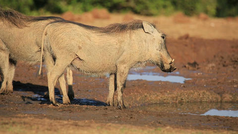 Warthog at a waterhole Footage
