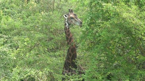 Malawi: giraffe in a wild 9a Footage