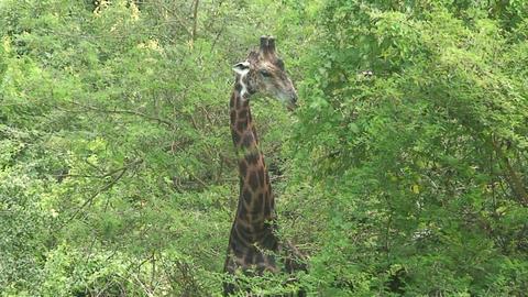 Malawi: giraffe in a wild 9a Stock Video Footage