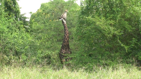 Malawi: giraffe in a wild 11a Stock Video Footage
