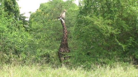 Malawi: giraffe in a wild 11a Footage