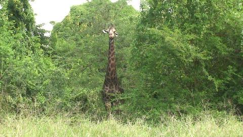 Malawi: giraffe in a wild 11a Stock Video Footage