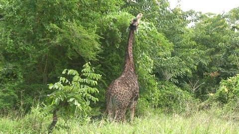 Malawi: giraffe in a wild 13a Footage
