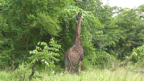 Malawi: giraffe in a wild 13a Stock Video Footage