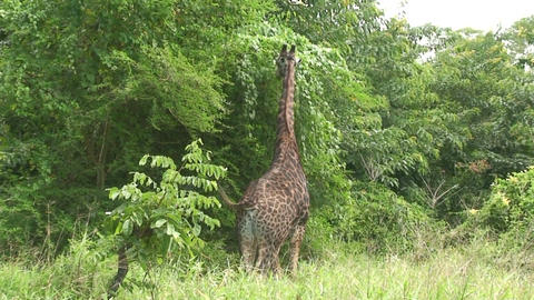 Malawi: giraffe in a wild 13a Stock Video Footage