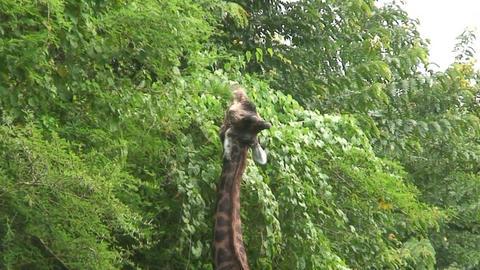 Malawi: giraffe in a wild 15a Stock Video Footage