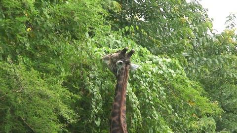 Malawi: giraffe in a wild 15a Footage