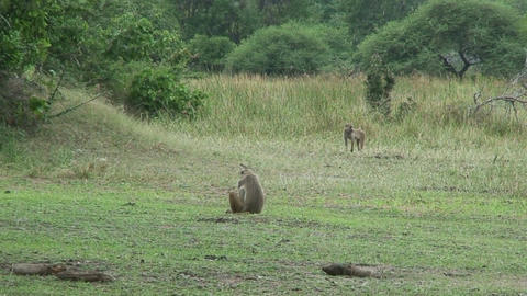 Malawi: monkeys in a forest 1 Stock Video Footage