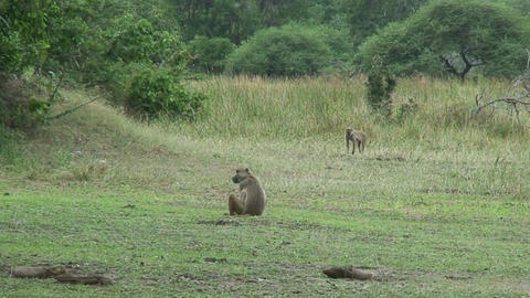 Malawi: monkeys in a forest 1 Footage