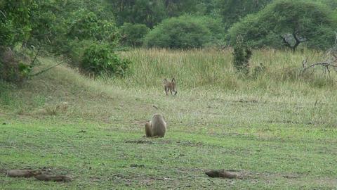 Malawi: monkeys in a forest 1 Stock Video Footage