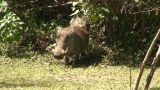 Malawi: Wild Boar In Savanna 2 stock footage