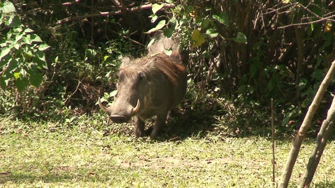Malawi: wild boar in savanna 2 Footage