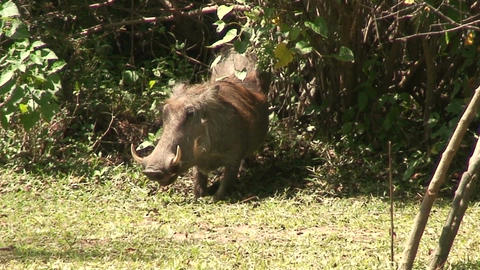 Malawi: wild boar in savanna 2 Stock Video Footage