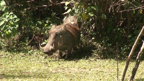 Malawi: wild boar in savanna 2 Stock Video Footage