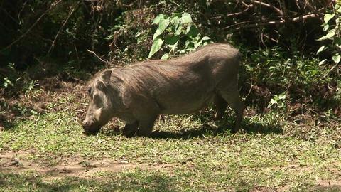 Malawi: wild boar in savanna 4 Stock Video Footage