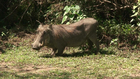 Malawi: wild boar in savanna 4 Footage