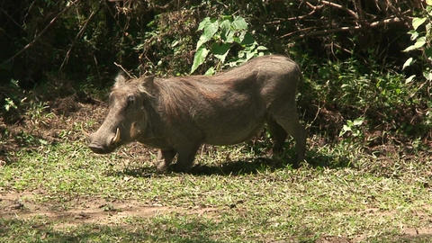 Malawi: wild boar in savanna 4 Stock Video Footage
