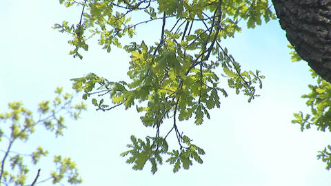 oak 1 Stock Video Footage