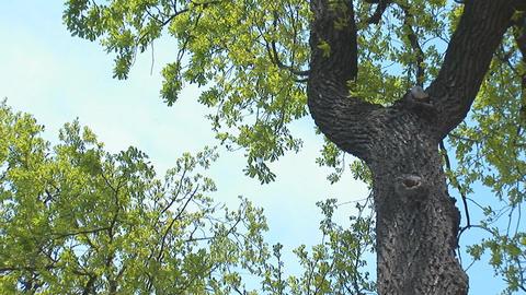 oak 1 Footage