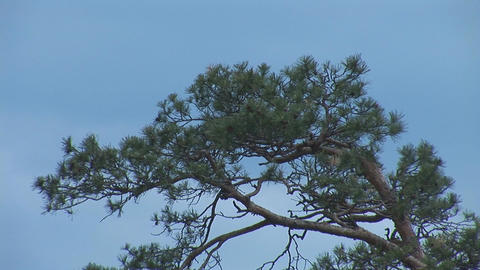 pine Stock Video Footage