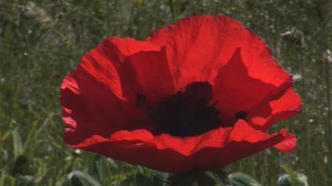 Scarlet Poppy 2 Stock Video Footage