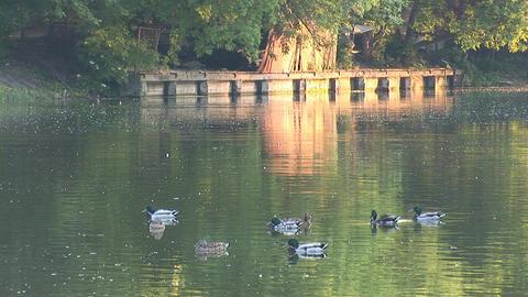 wild duck 2 Stock Video Footage