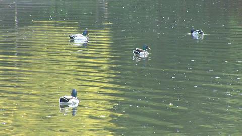 wild duck 4 Stock Video Footage