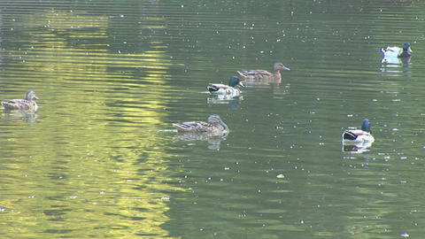 Wild Ducks 2