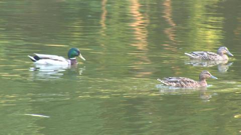 wild duck 6 Stock Video Footage