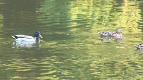 wild duck 6 Footage