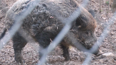 wild pig Stock Video Footage