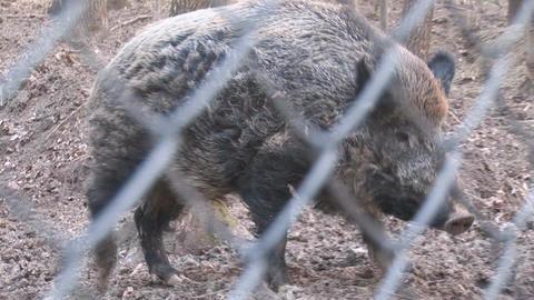 wild pig Stock Video Footage